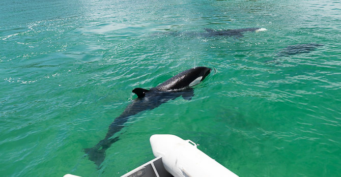 Orcas (killer whales) showed up on our Dolphins trip yesterday! – Bay of Islands – New Zealand